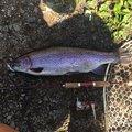 こあらさんの山梨県北都留郡での釣果写真