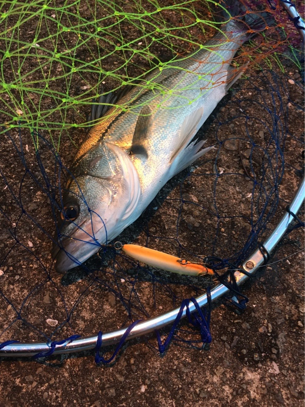 ♪( ´▽`)さんの投稿画像,写っている魚は