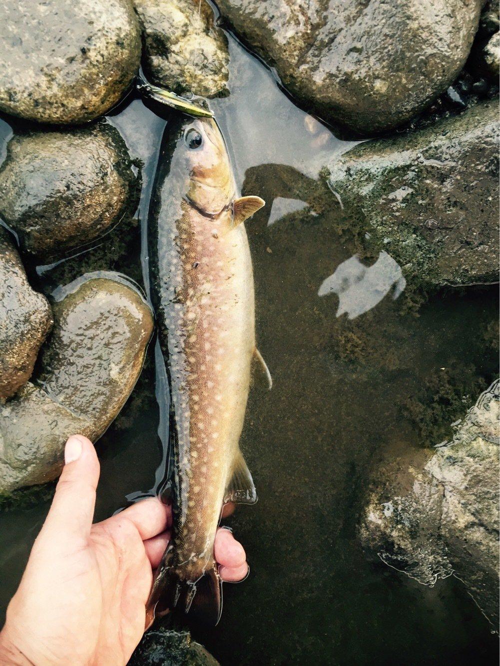 ケイタタさんの投稿画像,写っている魚はイワナ