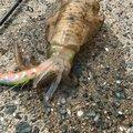 アル3000さんの福岡県福津市でのアオリイカの釣果写真