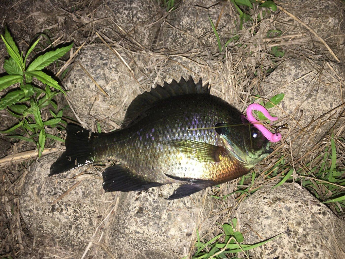 AIさんの投稿画像,写っている魚はブルーギル