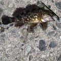 釣り初心者🐟恵子丸さんの静岡県湖西市でのカサゴの釣果写真