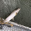 ジョタロさんの山形県長井市での釣果写真