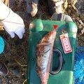 釣人21号さんの北海道寿都郡での釣果写真