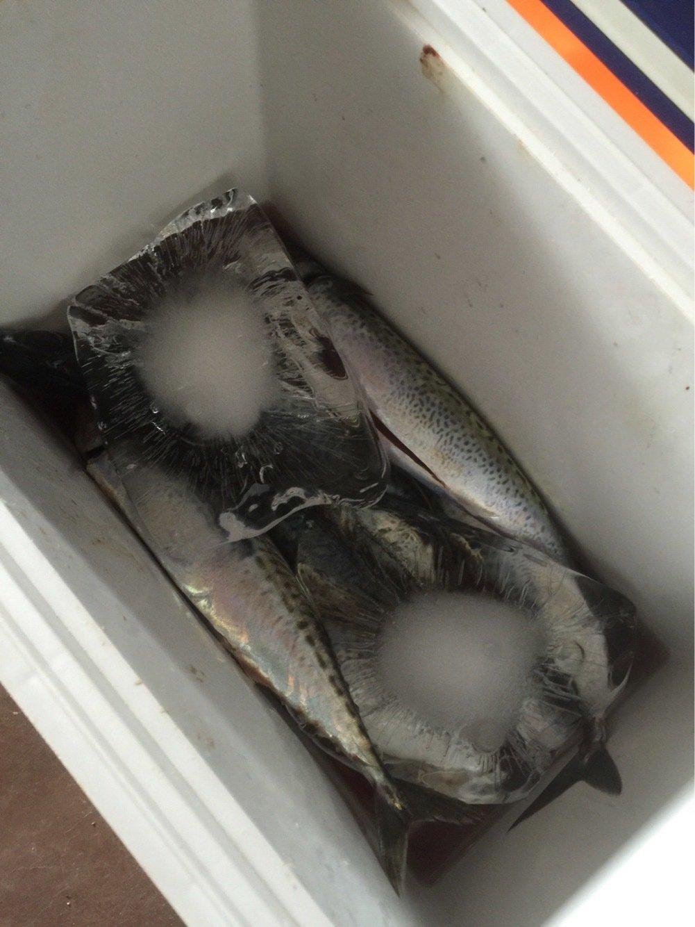 タケオさんの投稿画像,写っている魚はゴマサバ