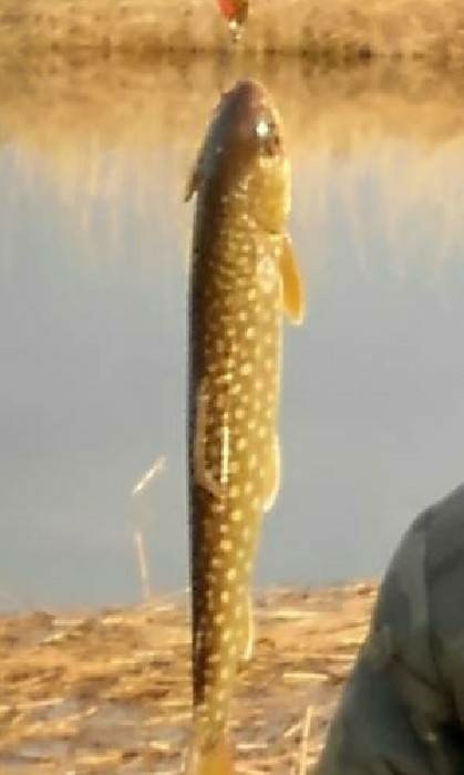 🦍さんの投稿画像,写っている魚はアメマス