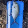 skaさんのカスミアジの釣果写真
