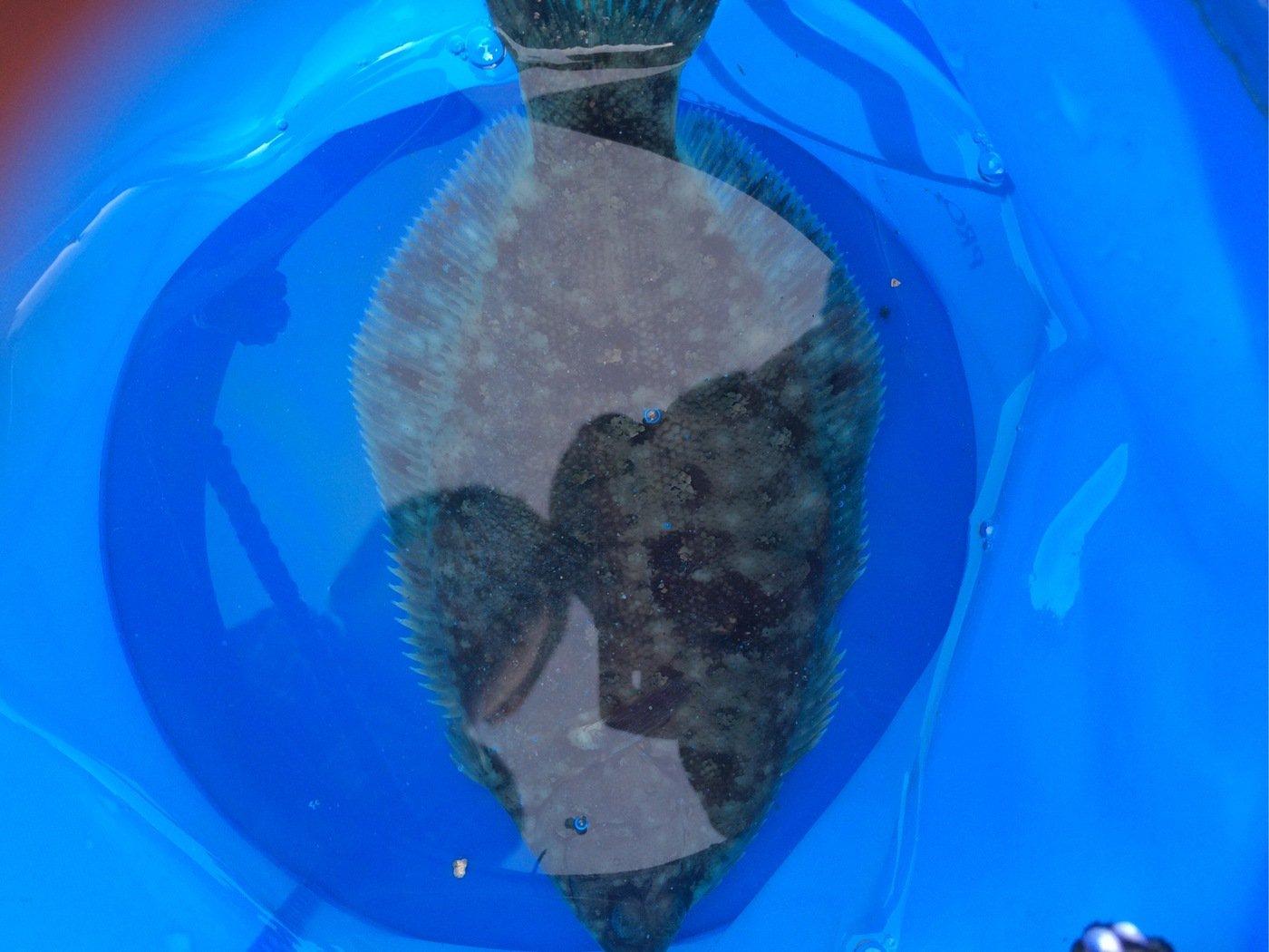 ありーんさんの投稿画像,写っている魚はヌマガレイ