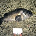 いつきさんの北海道釧路市でのクロソイの釣果写真
