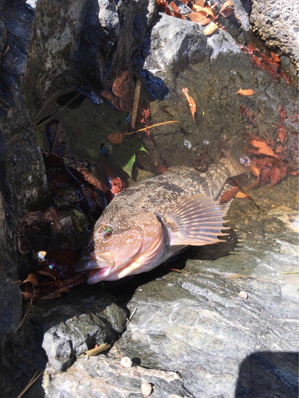 SAWADARさんの投稿画像,写っている魚はアイナメ