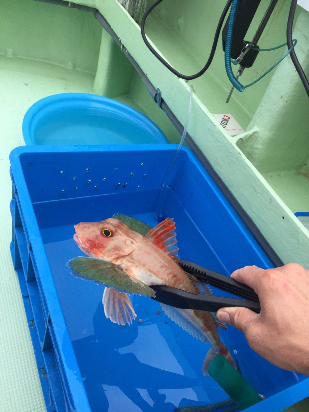 水戸 優典さんの投稿画像,写っている魚はホウボウ