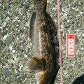 にじますさんの北海道千歳市での釣果写真