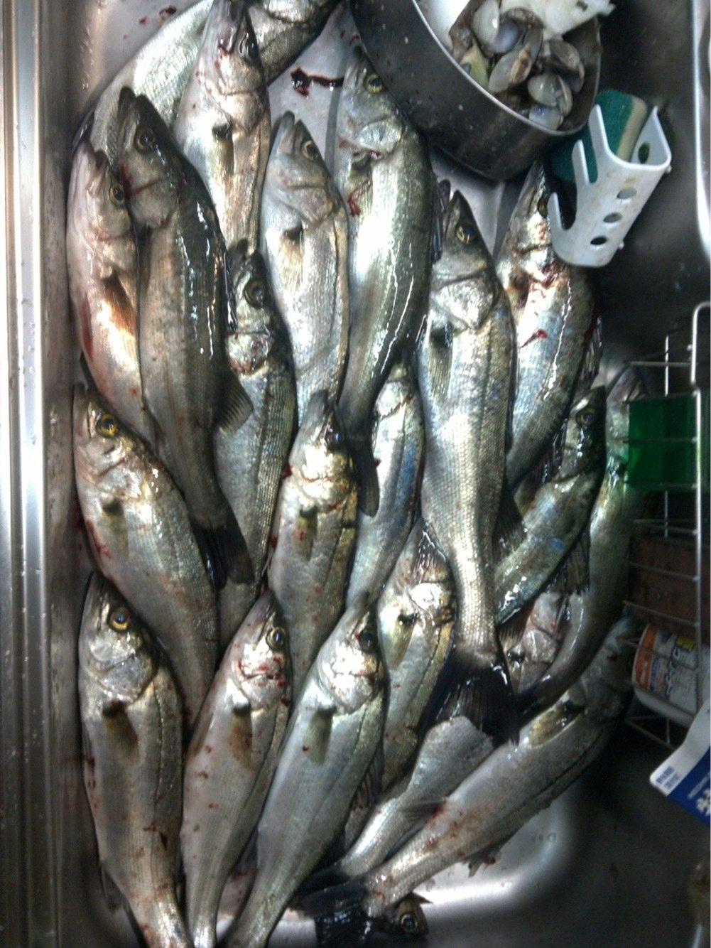ゆーきさんの投稿画像,写っている魚はスズキ