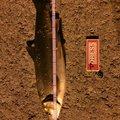 ユウさんの北海道茅部郡での釣果写真