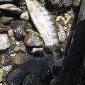 小物釣りさんの滋賀県犬上郡での釣果写真