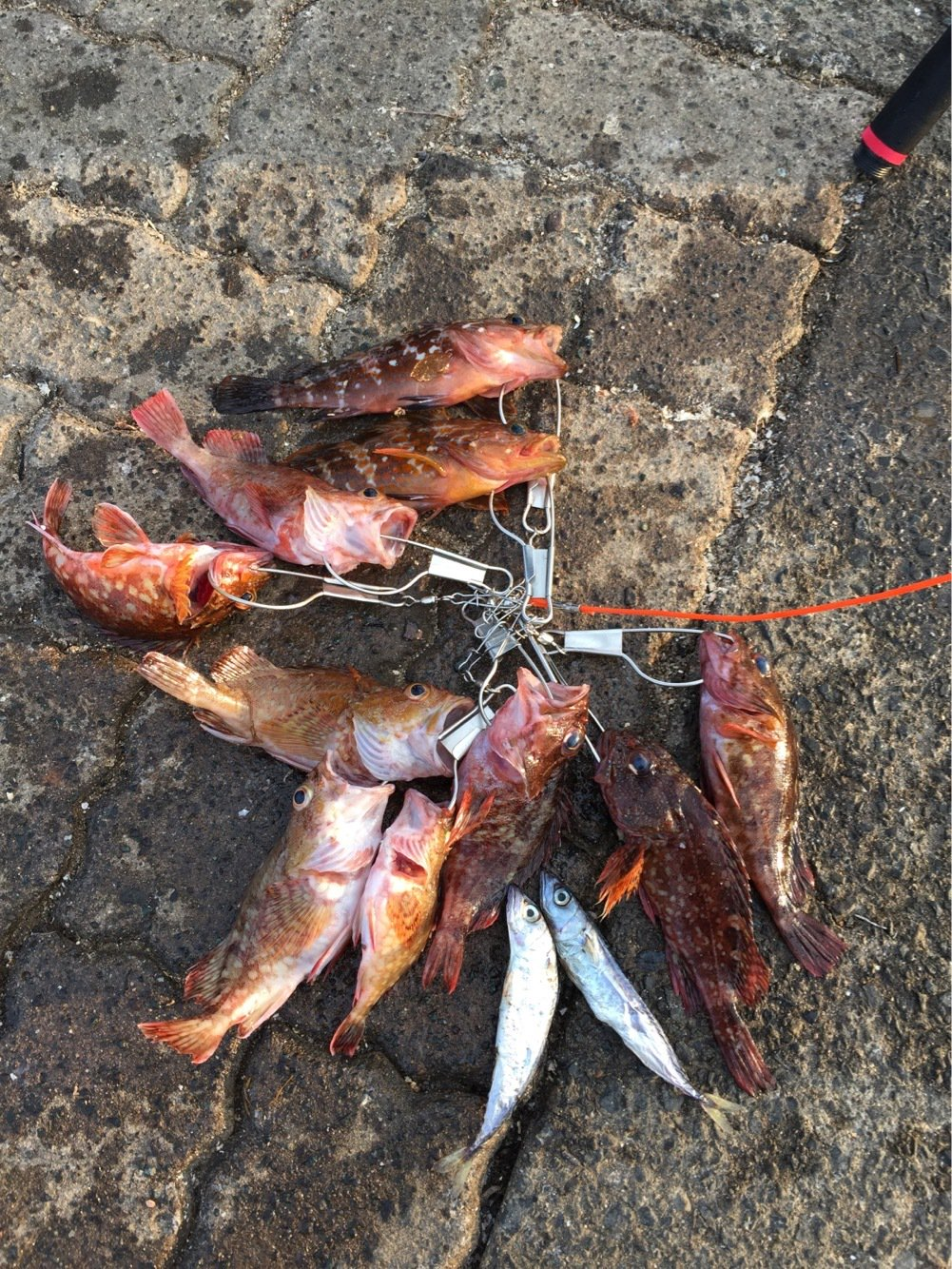 さんやんさんの投稿画像,写っている魚はキジハタ