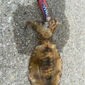 Redhorseさんの山口県岩国市でのアオリイカの釣果写真