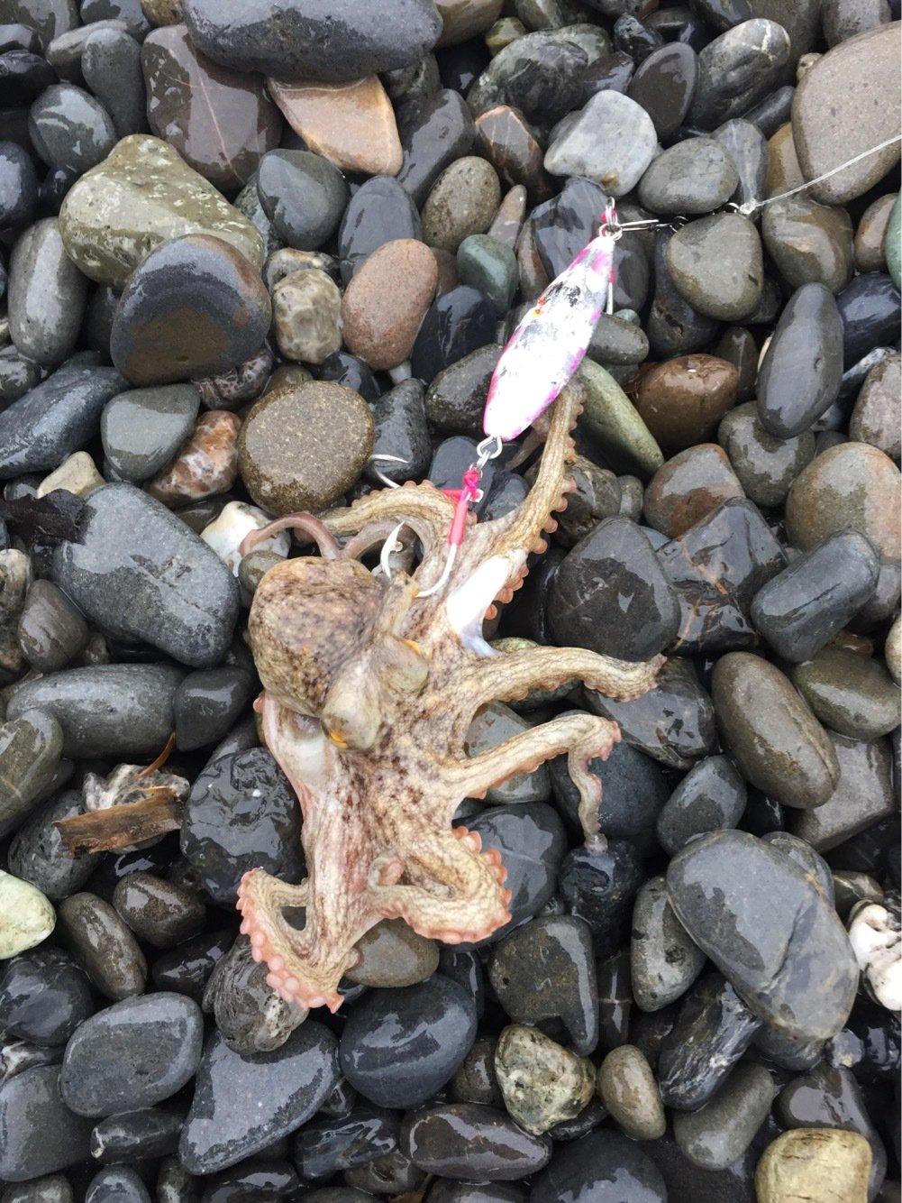よーちんさんの投稿画像,写っている魚はマダコ