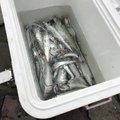 wo-tannyさんの静岡県湖西市でのマサバの釣果写真