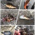 いっとん@LBSJさんのシロメバルの釣果写真