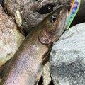 tukaさんの岐阜県下呂市での釣果写真
