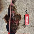 kathuさんの北海道檜山郡でのカジカの釣果写真