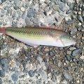 KANTAさんの神奈川県でのキュウセンの釣果写真