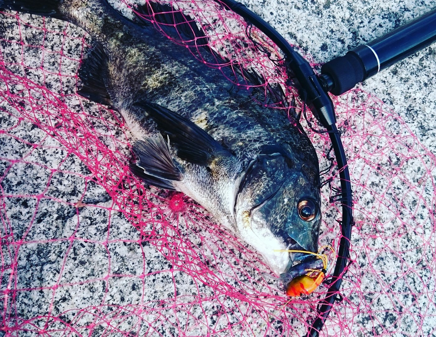 たーかひさんの投稿画像,写っている魚はクロダイ