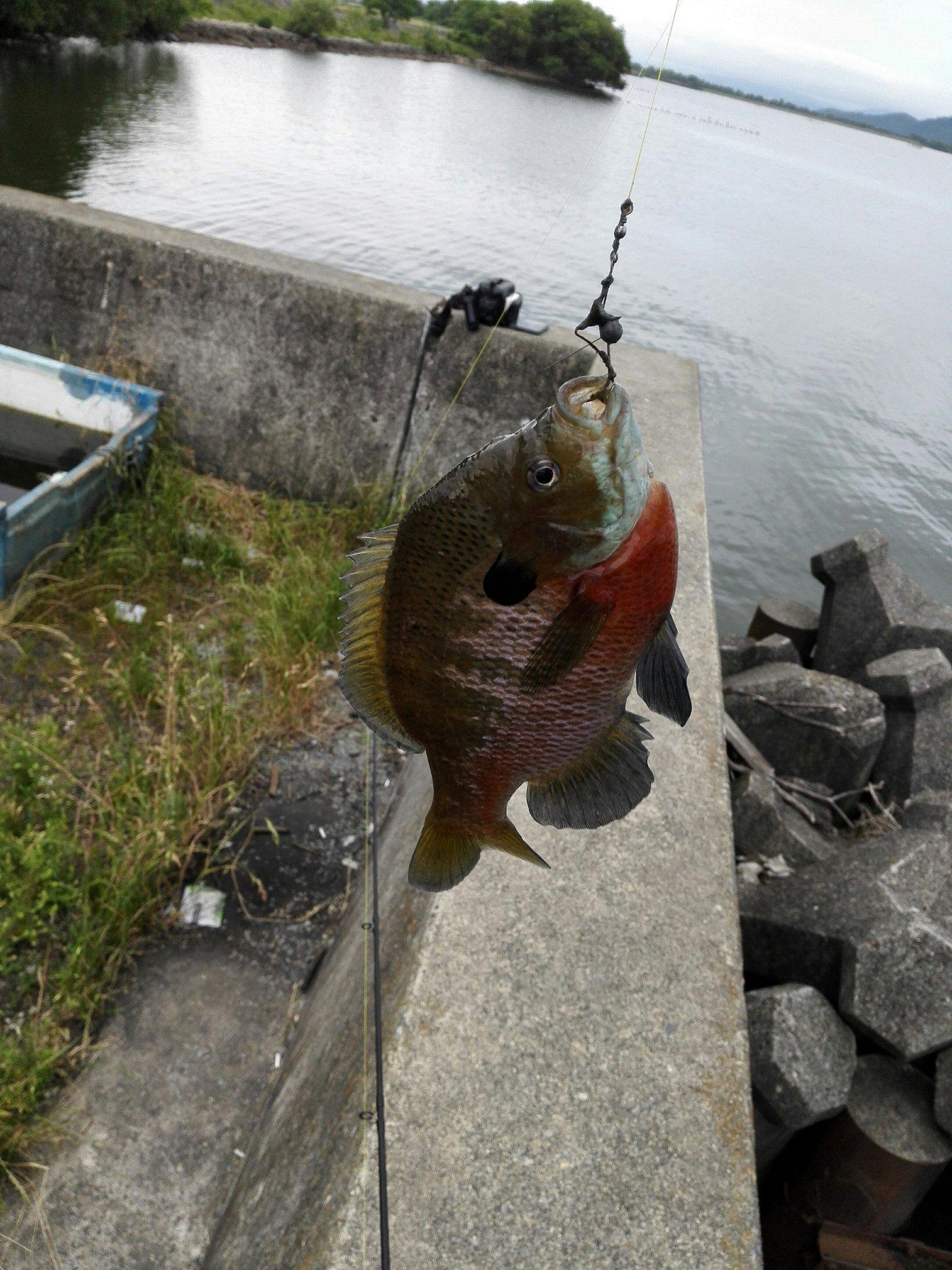 ヨーネル・ニャンダースさんの投稿画像,写っている魚はブルーギル