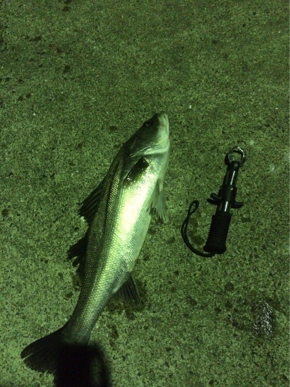 エソキングさんの投稿画像,写っている魚はスズキ