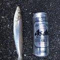 西岡春雄さんの広島県江田島市でのシロギスの釣果写真