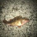 りょうさんの静岡県賀茂郡でのカサゴの釣果写真