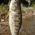 あっちゃんさんの山形県最上郡での釣果写真