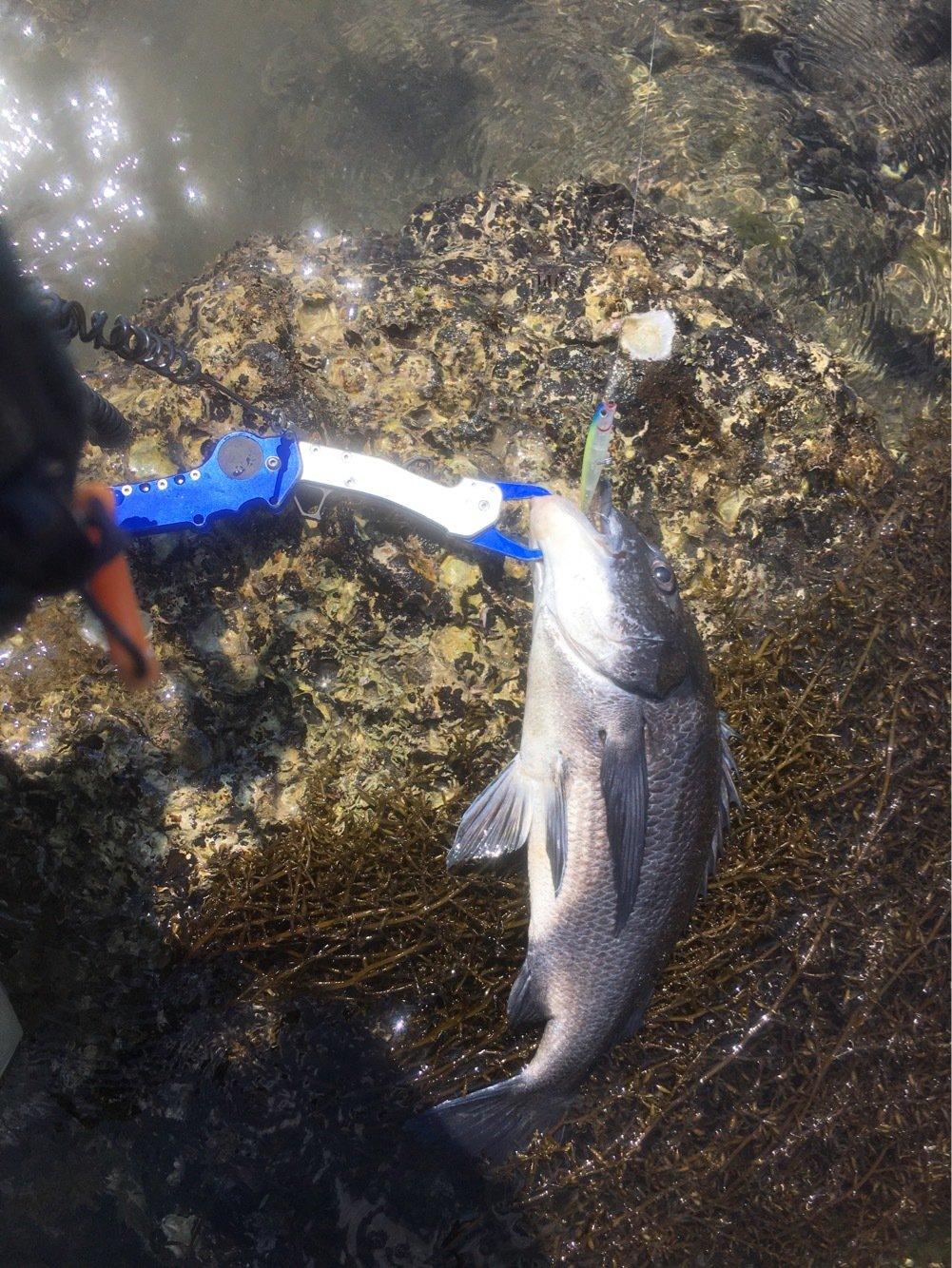 ひろさんの投稿画像,写っている魚はクロダイ