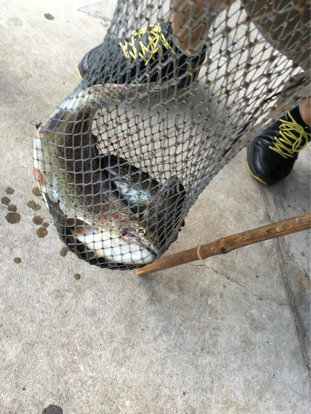 クンクンショウさんの投稿画像,写っている魚はニジマス