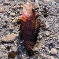 まいありーさんの鹿児島県鹿児島市でのオオモンハタの釣果写真