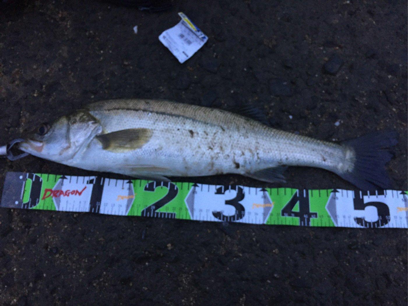 イトさんの投稿画像,写っている魚はスズキ