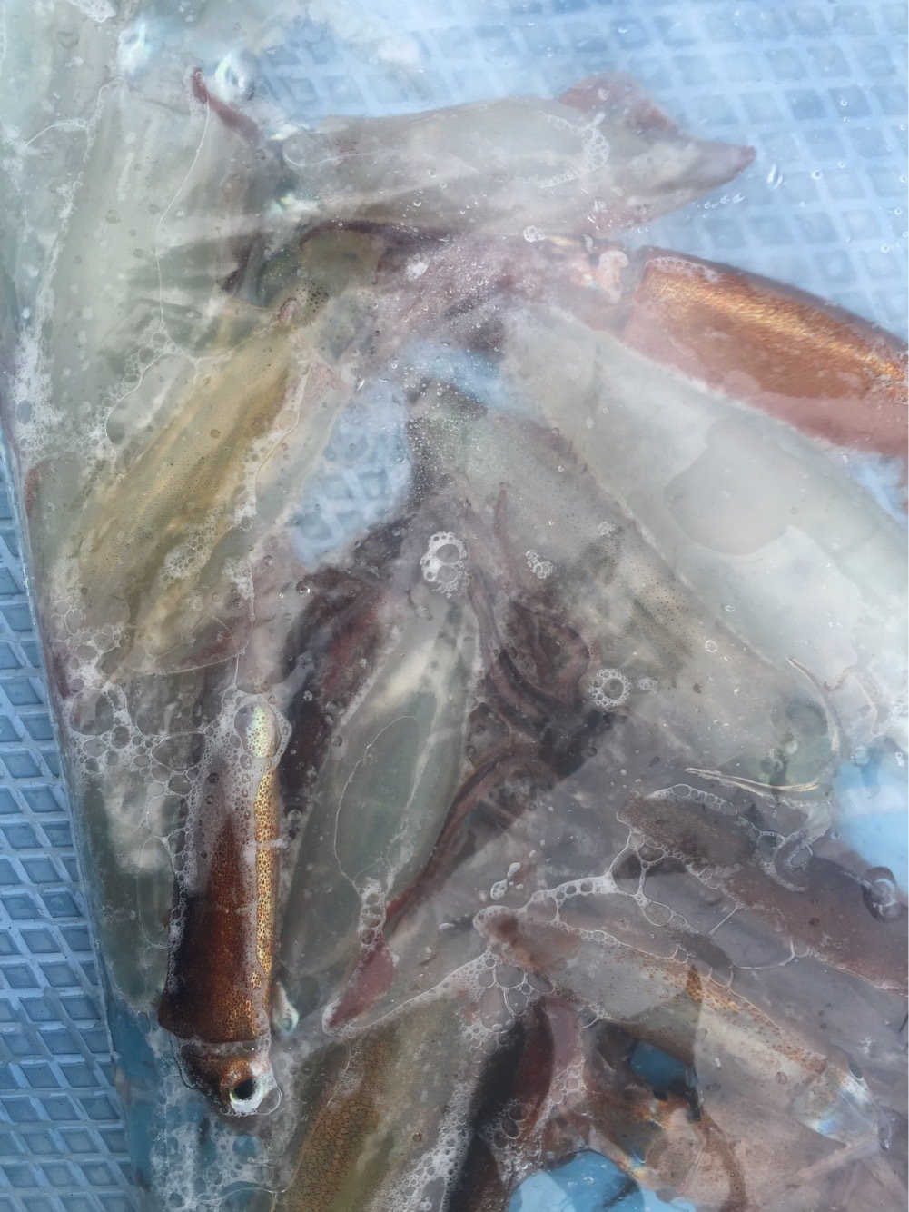 よーすけ。さんの投稿画像,写っている魚はケンサキイカ