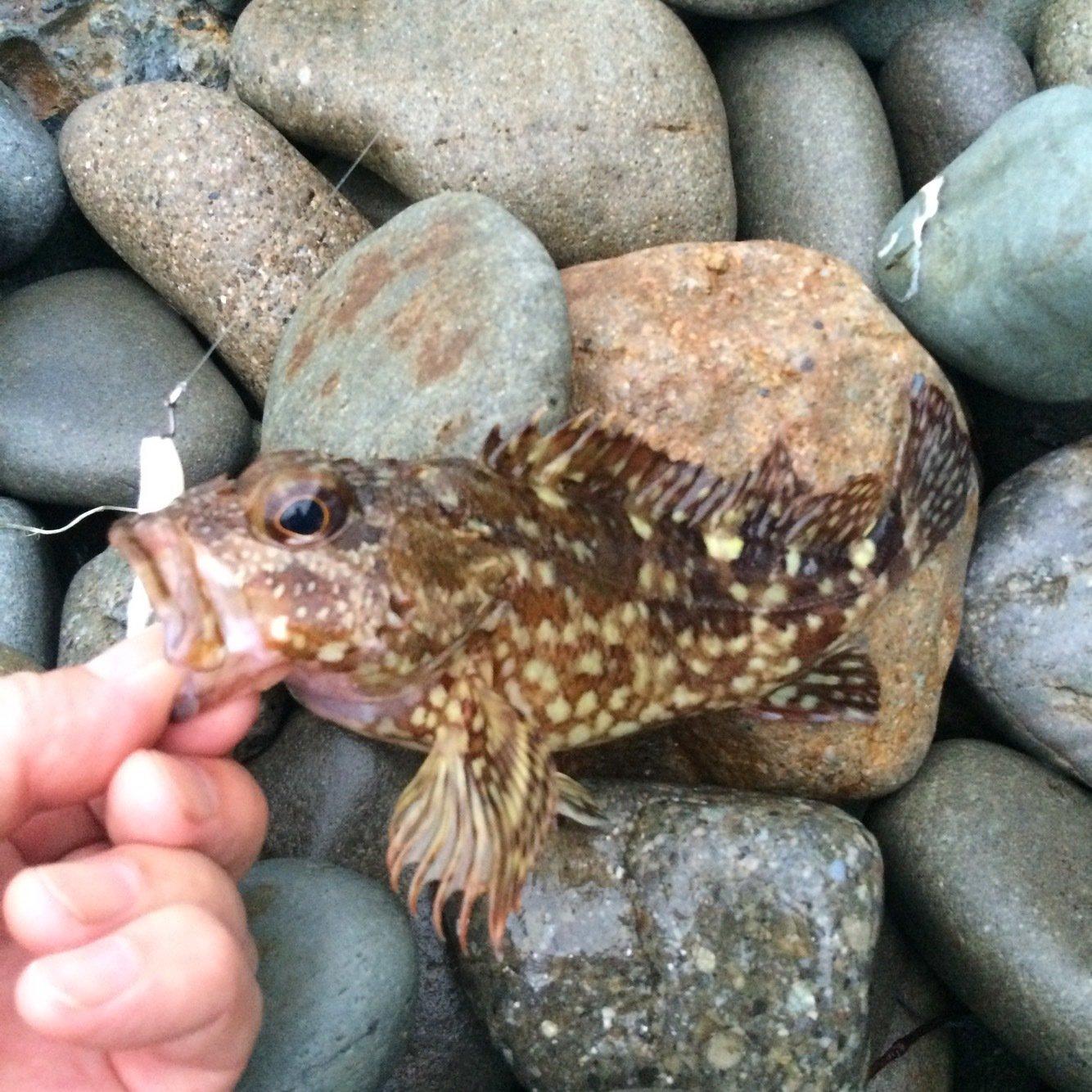 きんぎょさんの投稿画像,写っている魚はカサゴ