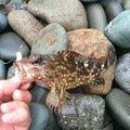 きんぎょさんの徳島県阿波市での釣果写真