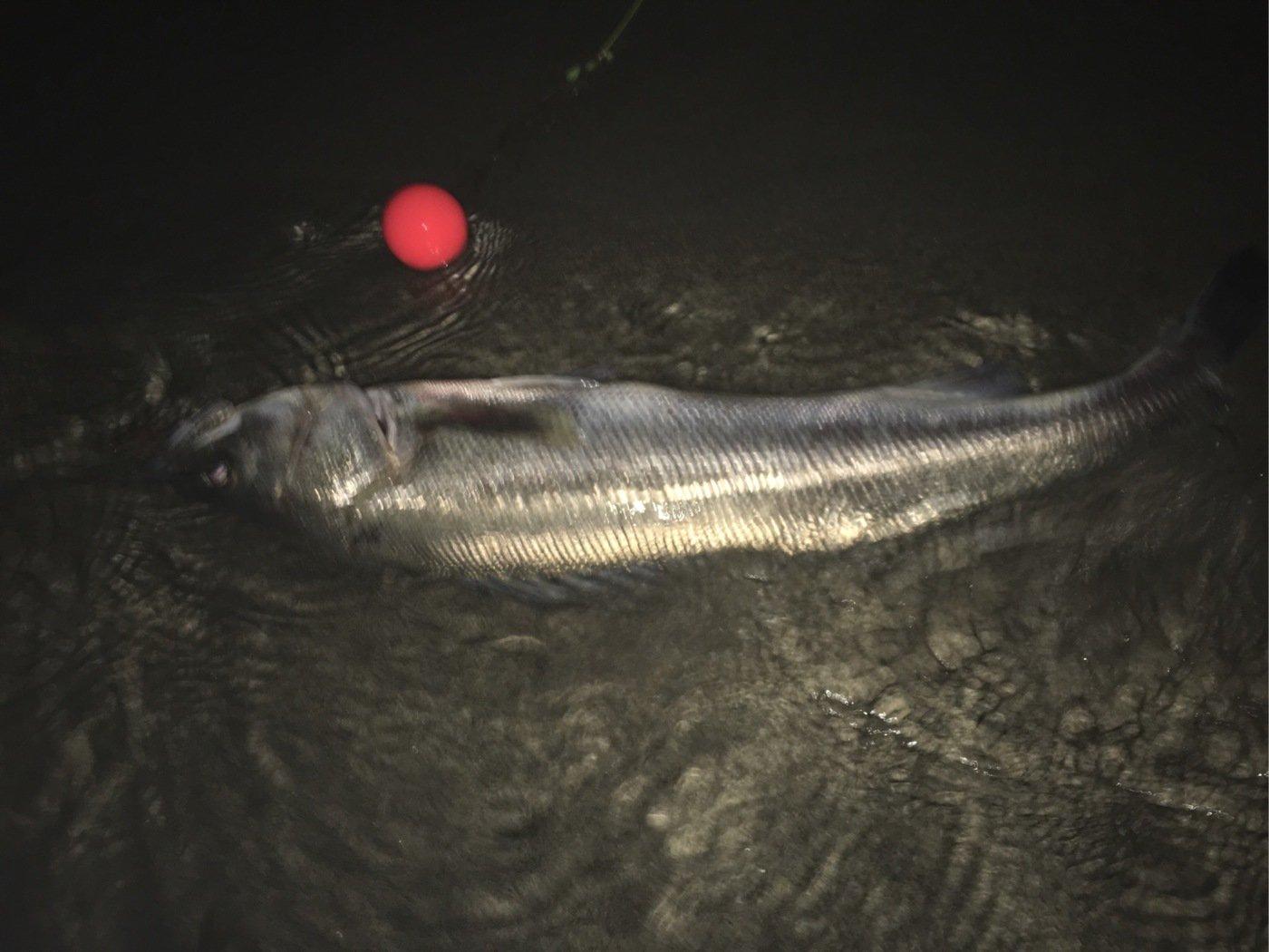 ろんさんの投稿画像,写っている魚はスズキ
