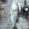 かっちゃんさんの福岡県小郡市での釣果写真