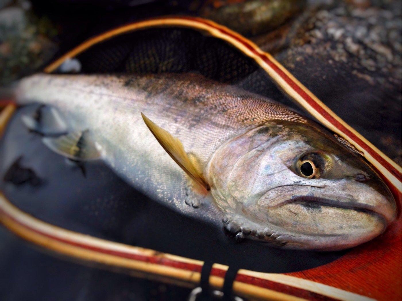 8845さんの投稿画像,写っている魚はヤマメ