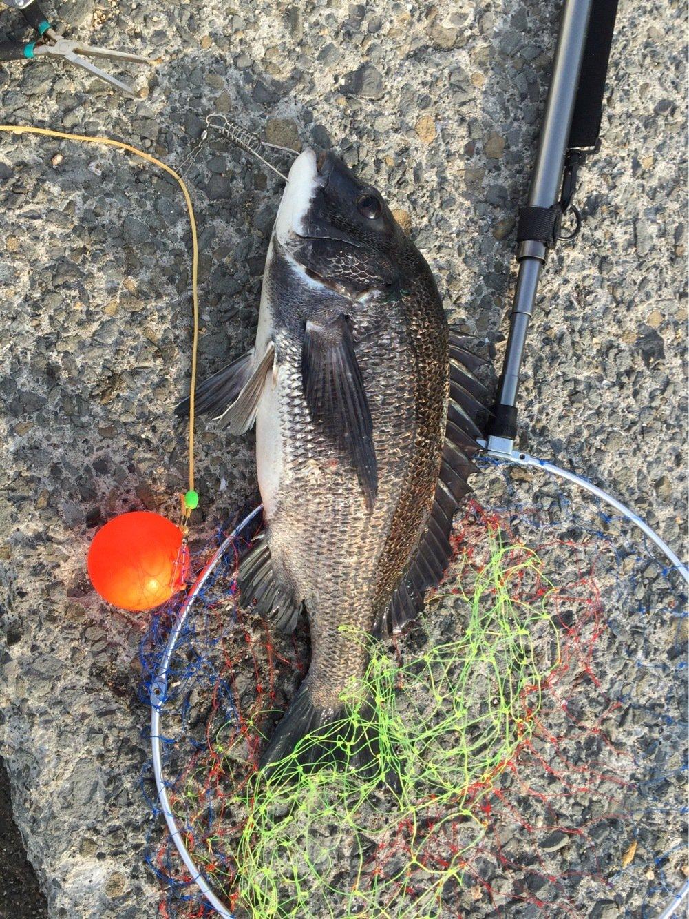 toshigeさんの投稿画像,写っている魚はクロダイ