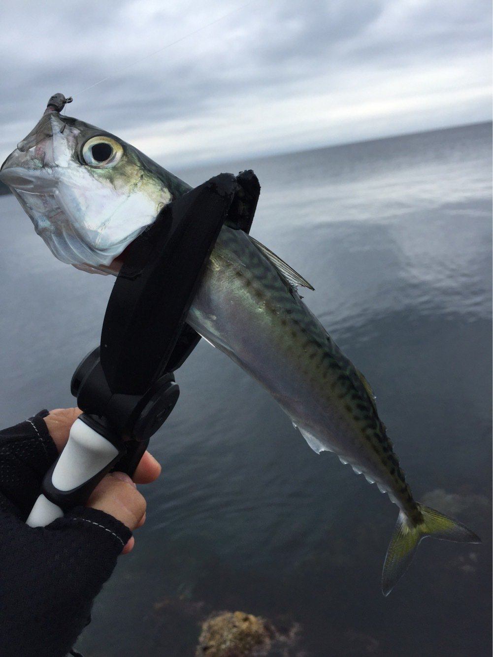 激にぼさんの投稿画像,写っている魚はマサバ