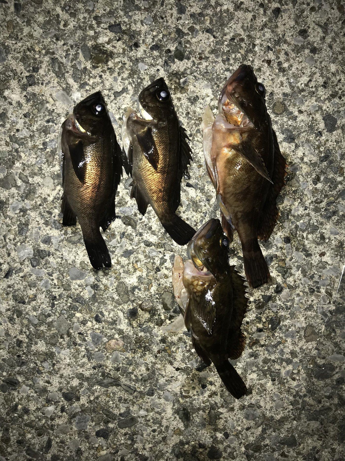 luckyさんの投稿画像,写っている魚はメバル,カサゴ