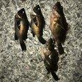 luckyさんの三重県四日市市でのメバルの釣果写真