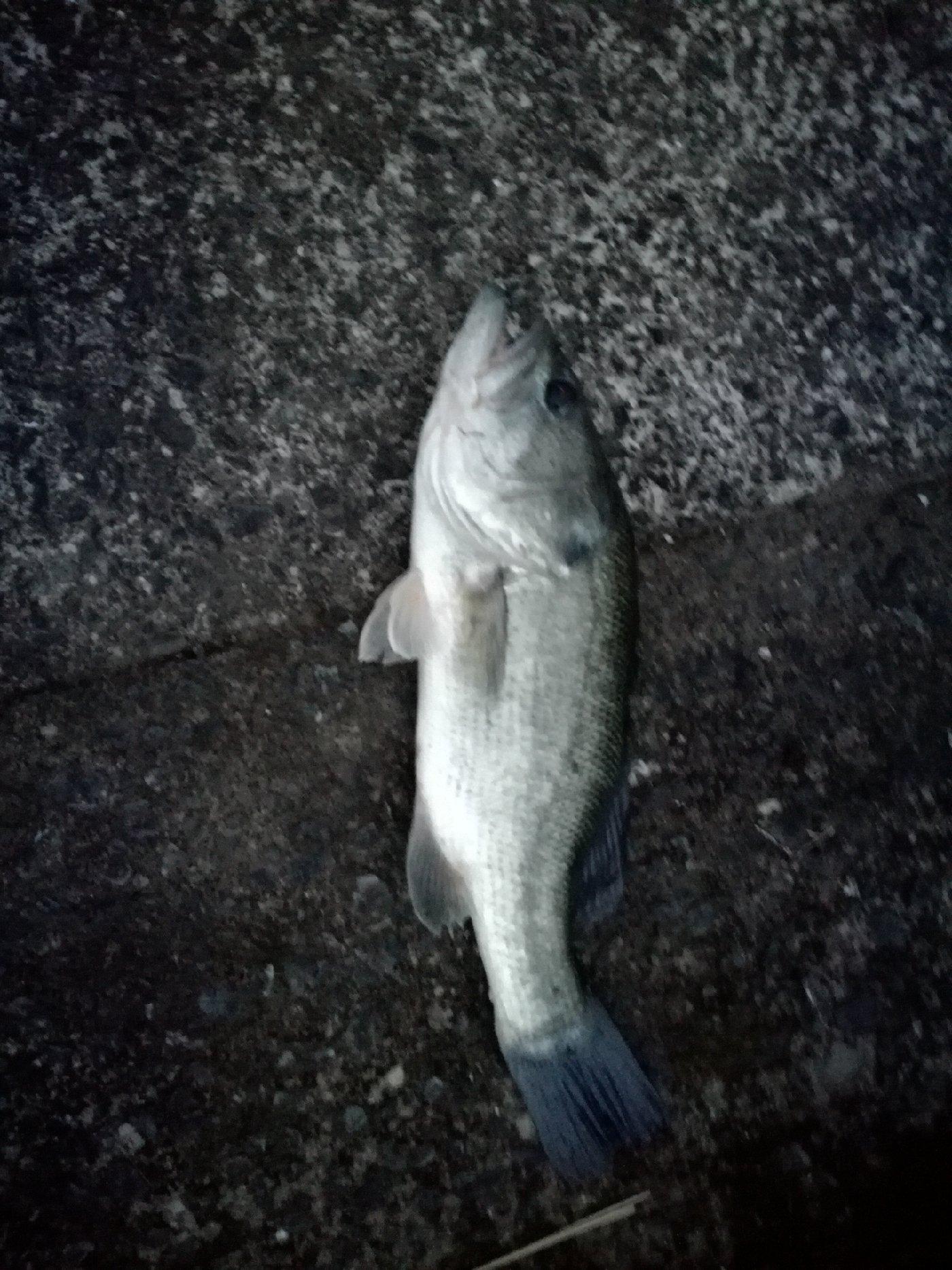 かっちゃんさんの投稿画像,写っている魚はブラックバス