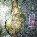 腹ペコAngler's@大地さんの北海道苫小牧市でのカジカの釣果写真