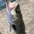 ポニーさんの千葉県君津市での釣果写真